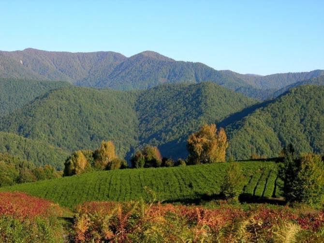 Чайные поля - краснодарский чай